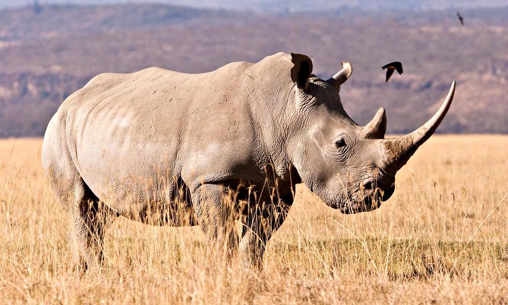 white-rhino_42993643